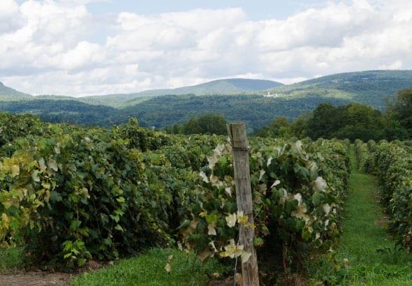 Grape Vineyard Producing Wine